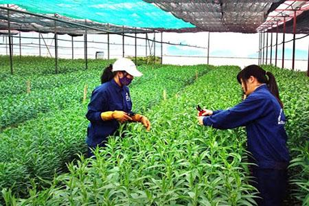 Tuyển 200 công nhân thu hoạch nông nghiệp làm việc tại Nhật Bản